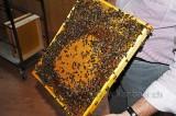 Bienen / Bees (104080)