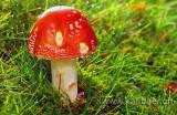 Pilz / Mushroom (8428)