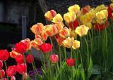 Tulpen / Tulips (06884)
