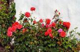 Rosen / Roses (7211)
