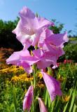 Gladiole / Gladiolus (0002)
