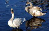 Schwaene / Swans (0320)