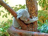 Koala Bear (05747)