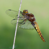 ODONATAE - (libellules et demoiselles - dragonflies and damsels)