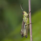 ORTHOPTERAE - (sauterelles et criquets - grasshoppers)