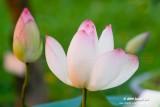Lotus 2009