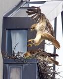 redtailed_hawk_nest_in_cambridge