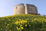 daffs at cliffords tower
