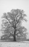 Hoar Frost Tree