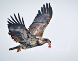 eat and run ...by a young eagle