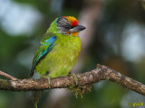 GOLD-THROATED BARBET