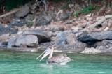 n6873 Hunting pelican
