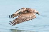 n6891 Pelican