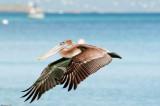 n6894 Pelican
