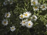wild daisies.jpg