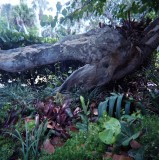 the alligator tree