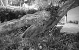 the alligator tree at bokeelia