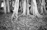 banyan tree at Edison Ford estate