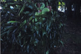 staghorn fern at Edison Ford Estate