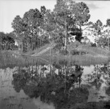 mirrored pines