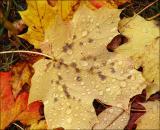 Rain drops on a Maple leaf