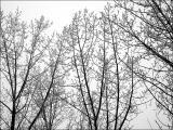 Iced trees