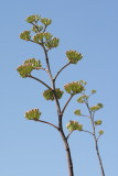 6499 - Agave Flowers