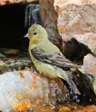Lesser Goldfinch #4295