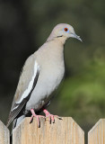 White-winged Dove #4383
