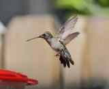 Black-chinned Hummingbird (Female) #4646