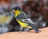 Lesser Goldfinch #4978