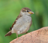 House Sparrow Juvenile #5476