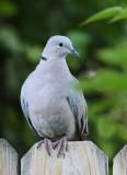 Eurasian Collared-Dove #5657
