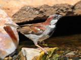 House Sparrow #6051