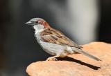 House Sparrow #6251
