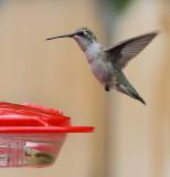 Black-chinned Hummingbird (Female) #6340