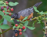 American Robin Stealing Blackberries #6559