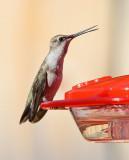 Black-chinned Hummingbird (Female) #0357
