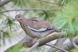 White-winged Dove #2205