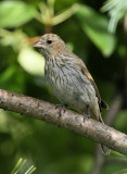 House Finch #4901