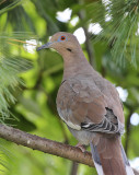 White-winged Dove #9212