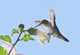 Black-chinned Hummingbird #9361