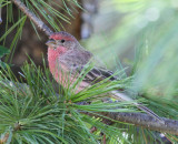 House Finch #0036