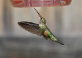 Broad-tailed Hummingbird (Female) #1394