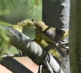 Lesser Goldfinch feeding a juvenile #2840