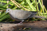 Eurasian Collared-Dove #3970