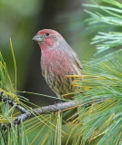 House Finch #4371