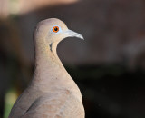 White-winged Dove #5566