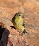 Lesser Goldfinch #1512
