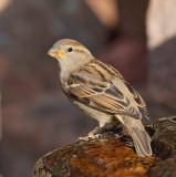 House Sparrow #1849